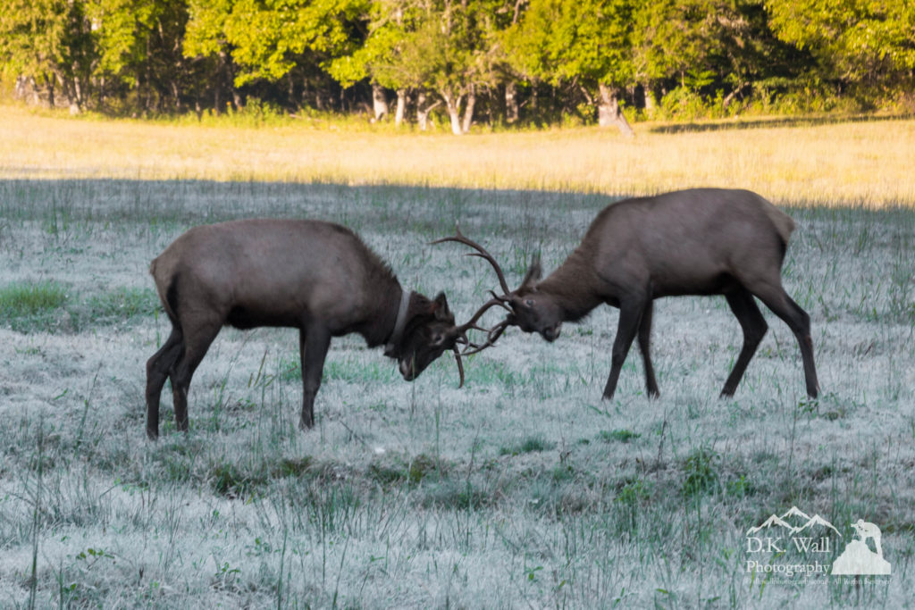 Two young elk practicing their fighting.