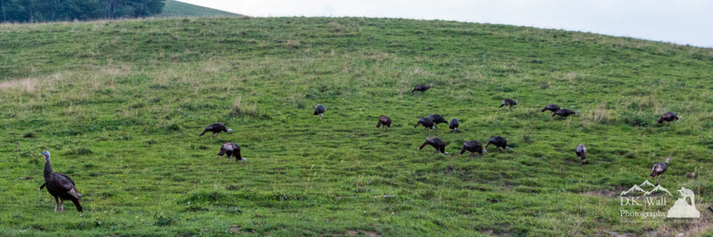 Wild turkeys are a very common sight, even a large flock like this. (By the way, a group of wild turkeys is called a flock, though a group of domestic turkeys is called a rafter).