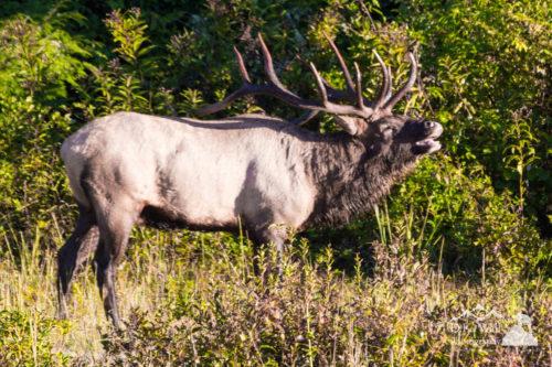 Large Bull Elk Bugling