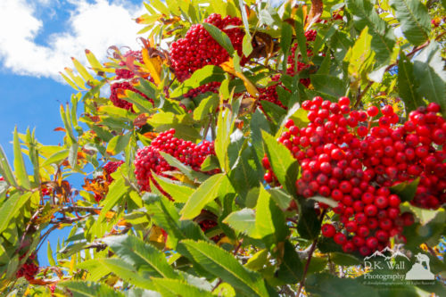 Loved the brilliant red of the berries against the fading leaves and blue sky.