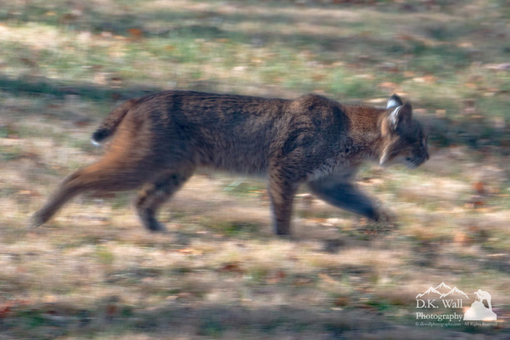 Bobcat headed into the woods