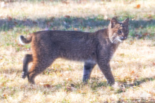 Bobcat looks right at me