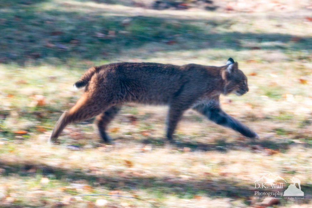Bobcat strolling by the house