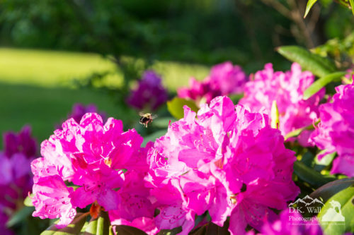 bee-flying-over-catawba-rhododendron-june-8-2016