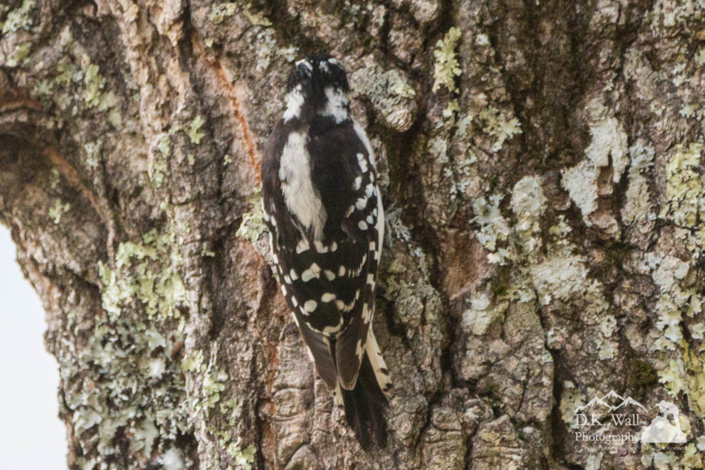 Female Downy Woodpeckers Camouflage with tree bark