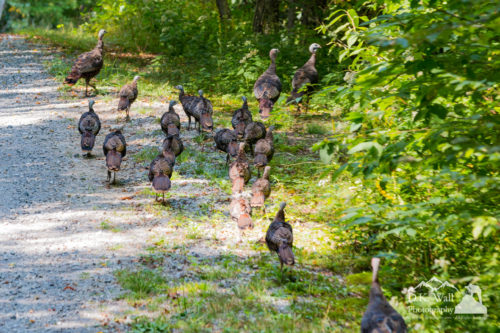 Wild turkey flock sauntering down our road