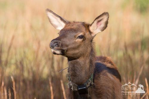 Young elk calf