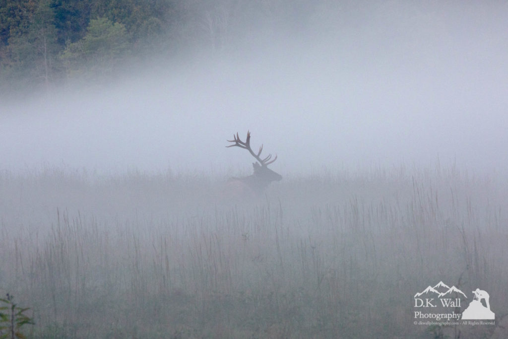 Bull Elk in Foggy Cataloochee Valley
