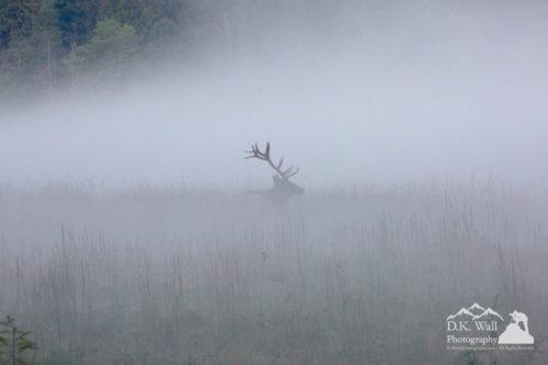 Bull Elk in Foggy Cataloochee Valley
