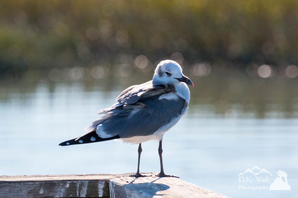 Gull Eyes at Huntington Beach - November 11 2016