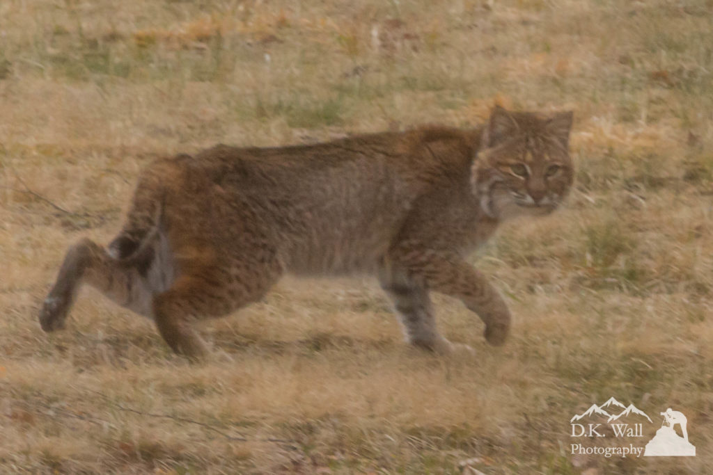 Wary Bobcat Leaving - March 13 2017