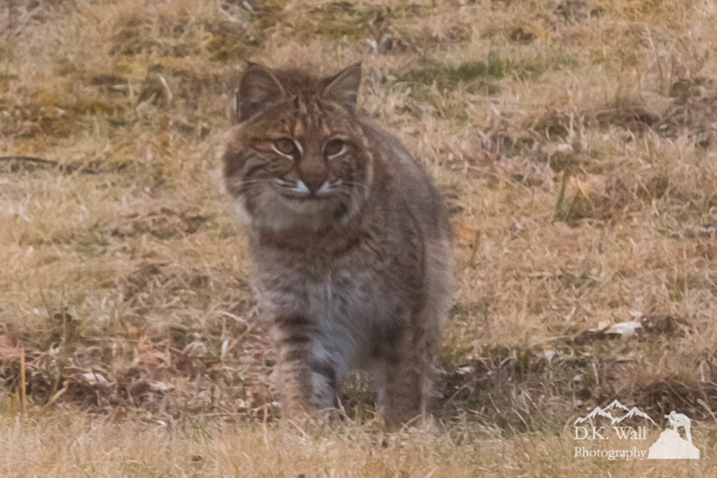Wary Bobcat - March 13 2017