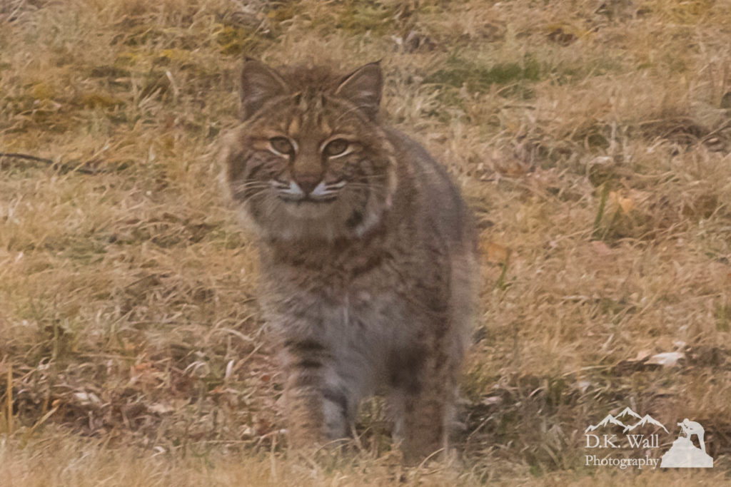 Wary Bobcat Staring - March 13 2017