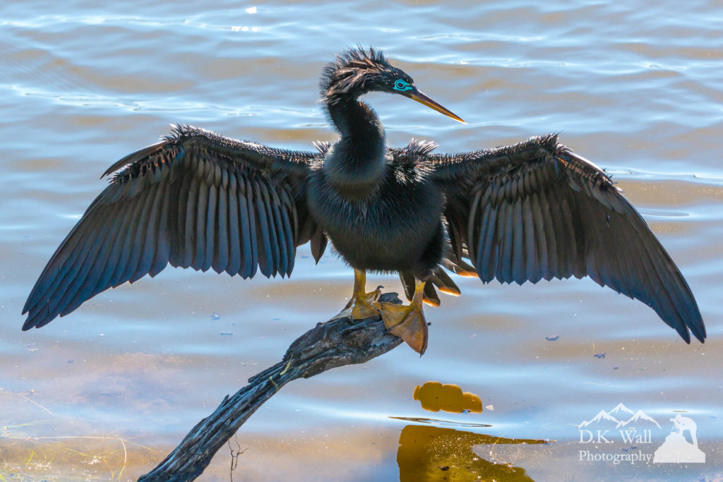 Anhinga Drying Wings At Huntington Beach State Park