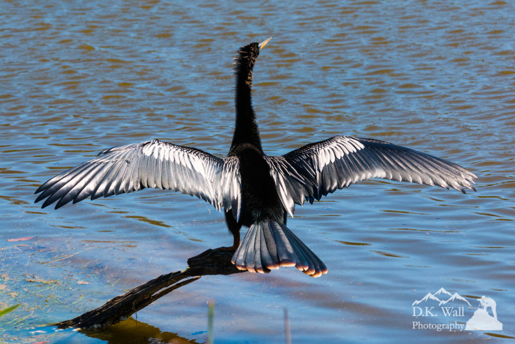 Anhinga Drying Wings at Huntington Beach State Park - April 1 2017
