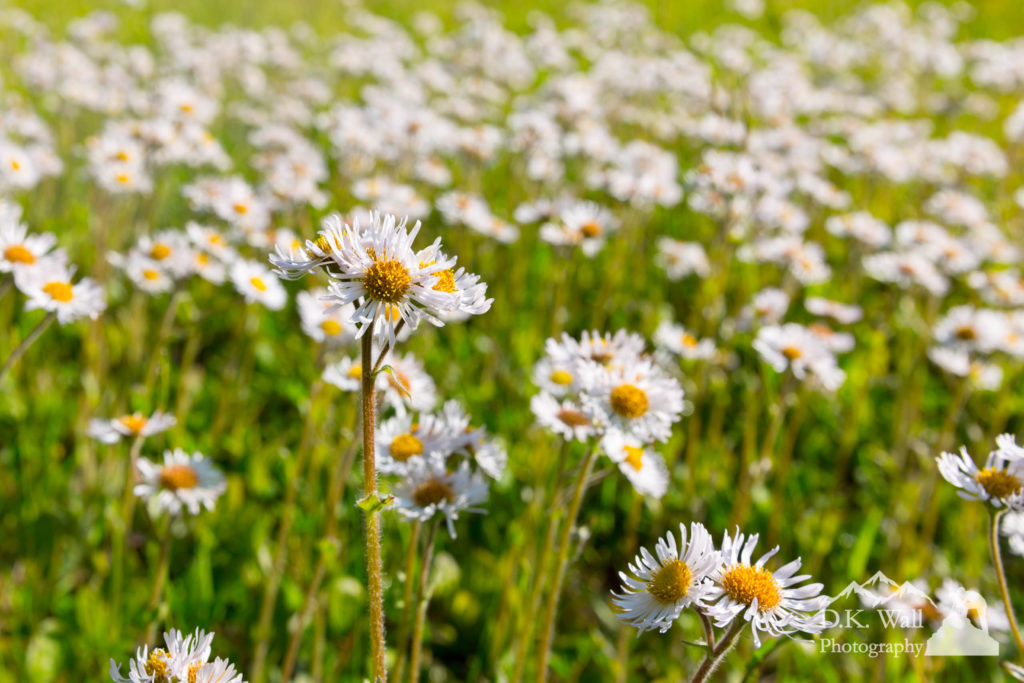 Spring Wildflowers - Fleabane - May 10, 2017