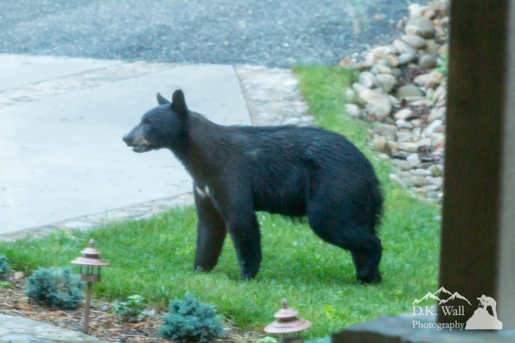 Pre-Dawn Black Bear Visit At The House