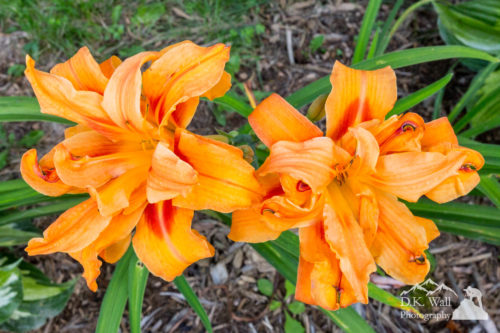 The brilliant orange plumes of daylilies