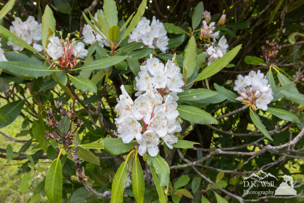 The rhododendron flowering as a part of our evening blooms