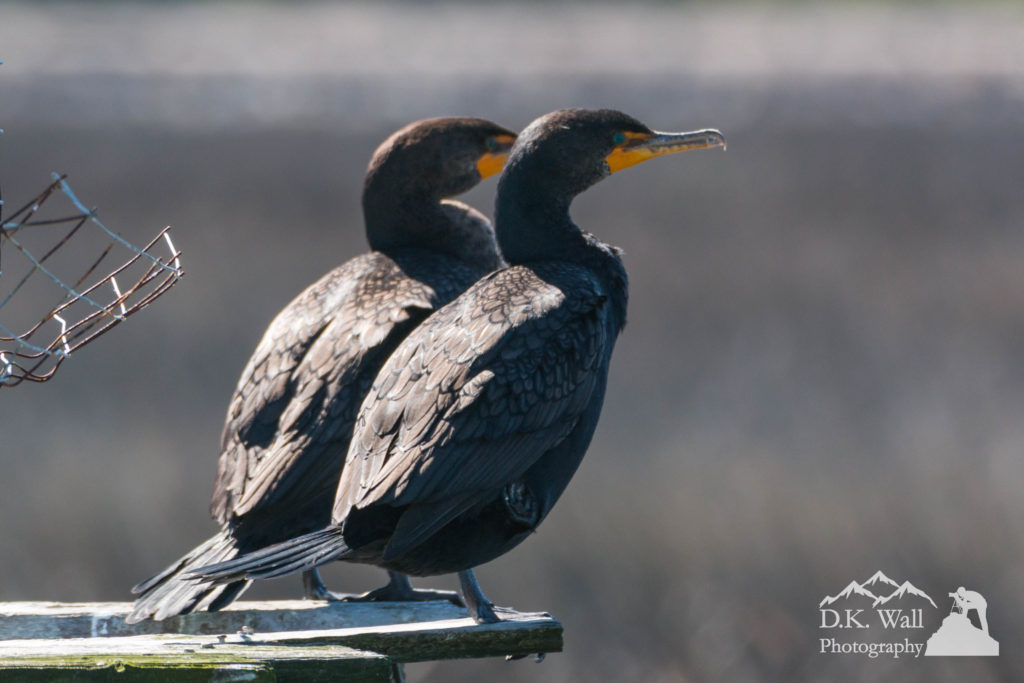Pair Double-Crested Cormorant