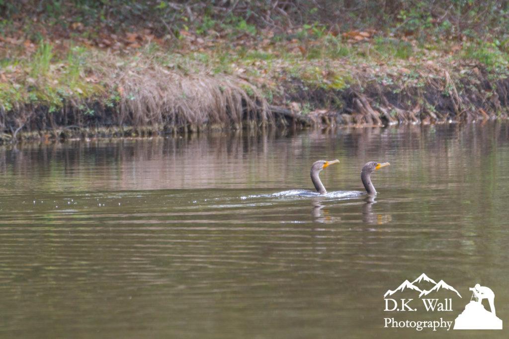 Swimming Cormorants