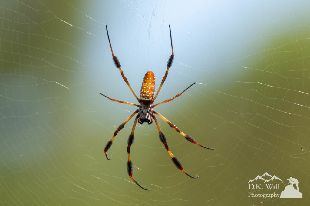 A plentiful and quite sizable spider commonly known as a banana spider, but more appropriately called a golden silk orb-weaver.