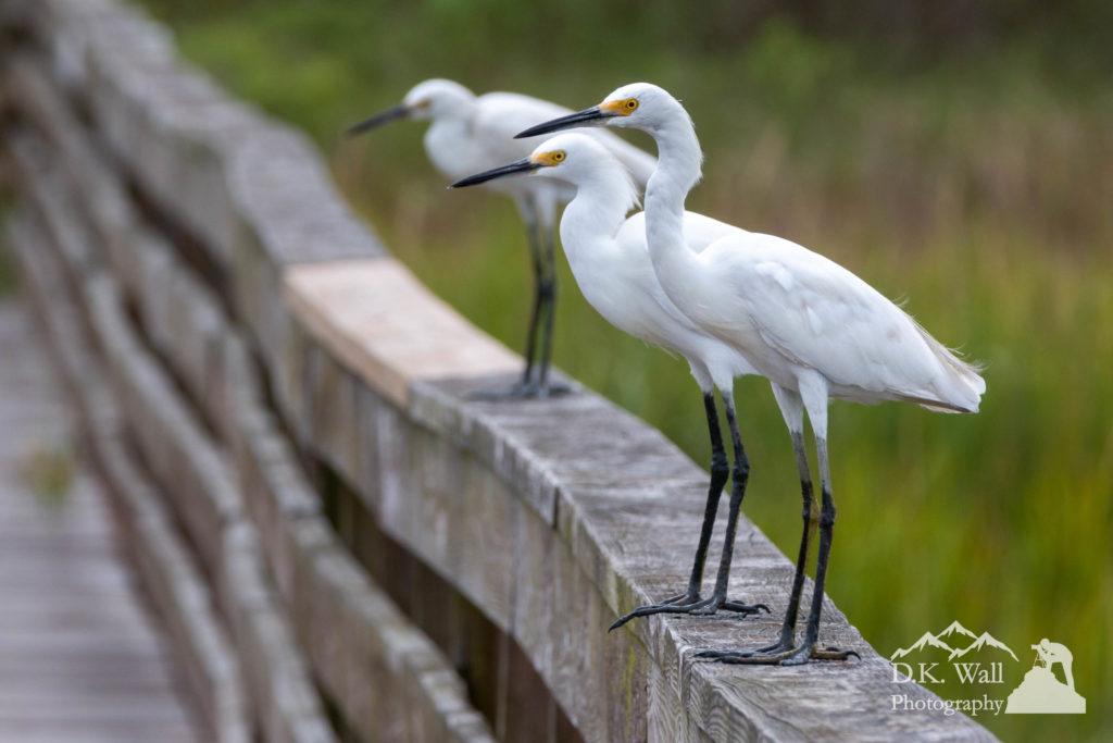 Snowy egrets line up on a rail inside Huntington Beach State Park.