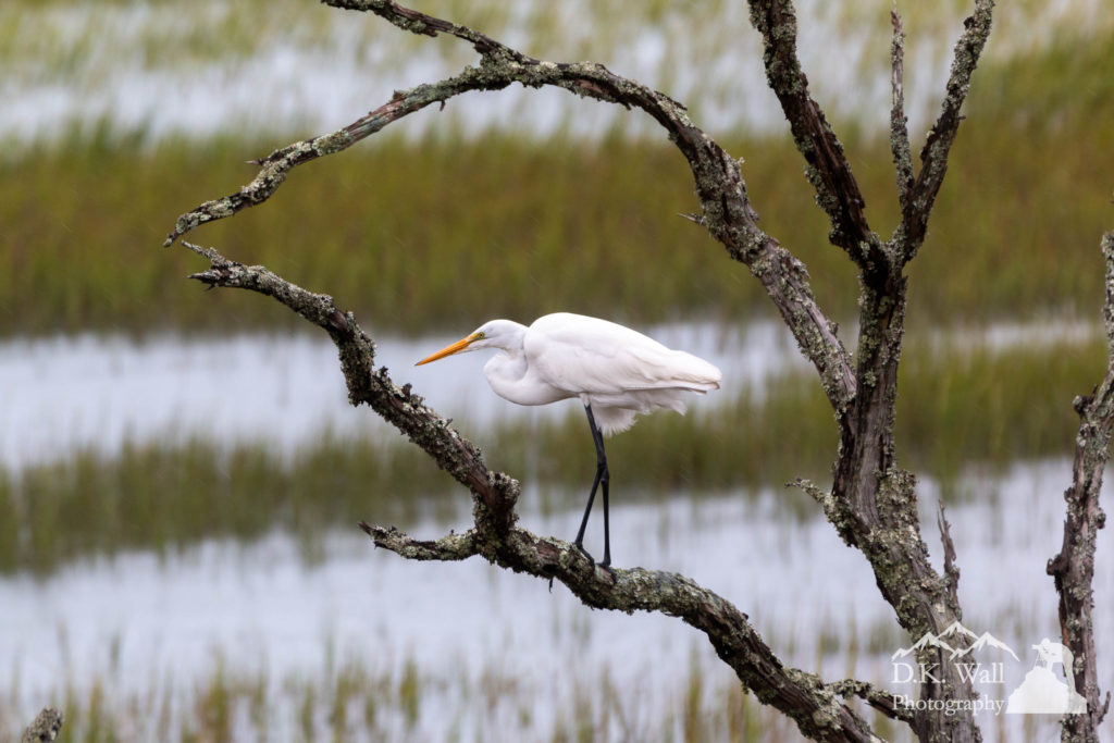 The great egret hanging out in the tree as Hurricane Dorian approaches.