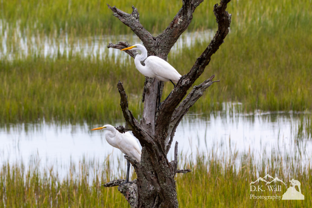 A pair of great egrets hanging out in a tree just outside my office.
