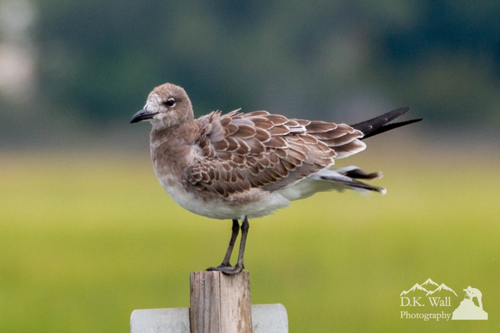 A young laughing gull.