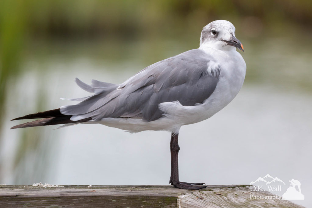 Laughing gull watching me approach.