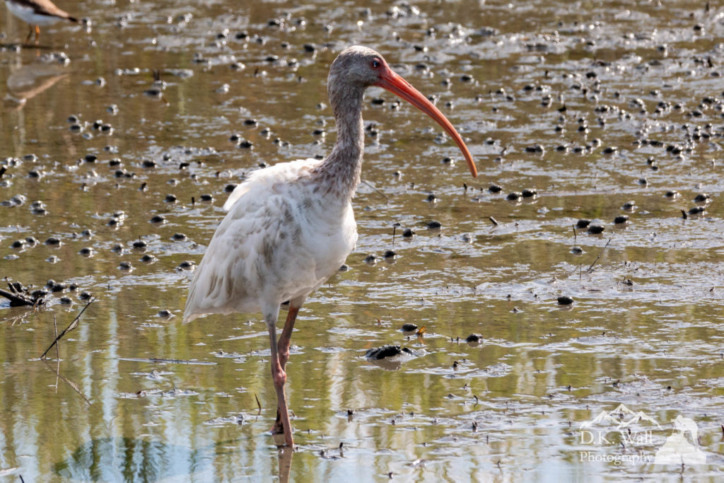 The white ibis is the shallow waters.