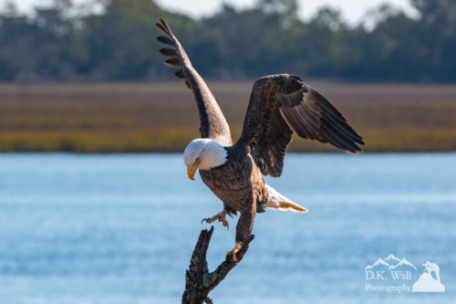 Bald Eagle Landing on Tree