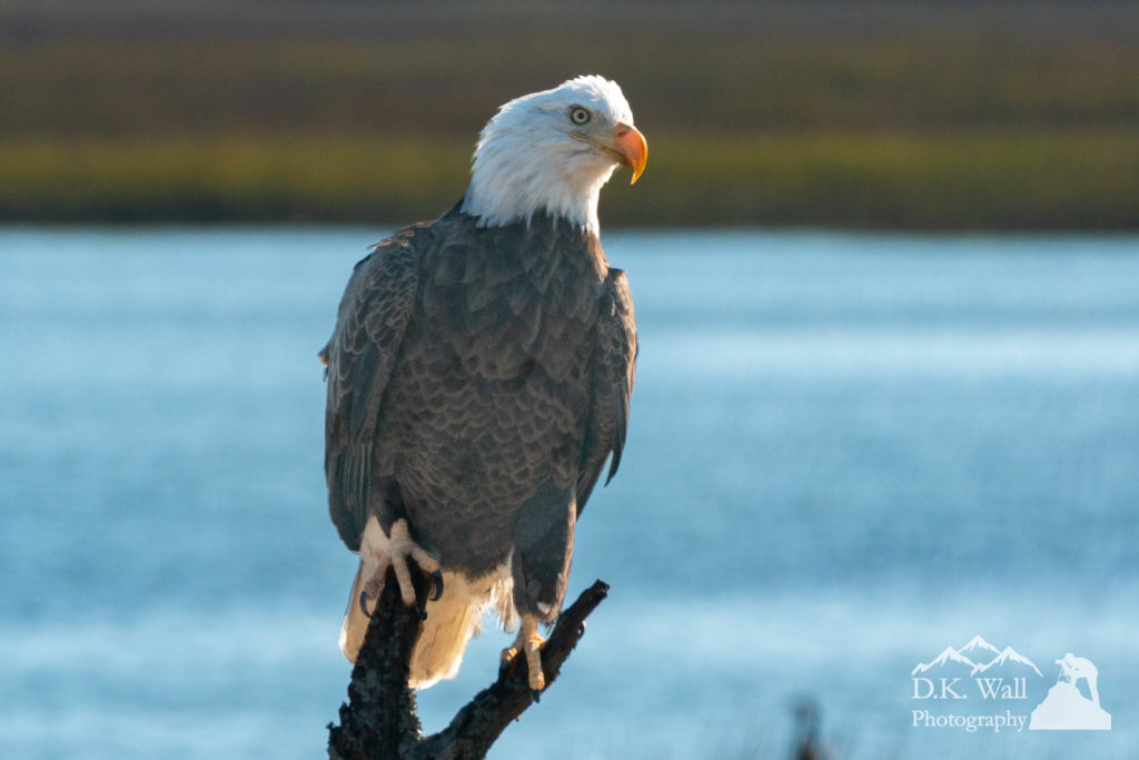 Bald Eagle watching the marsh for food