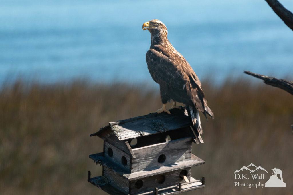 Juvenile bald eagle eyeing photographer