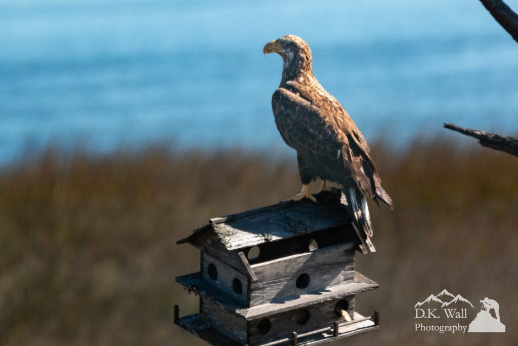 Juvenile Bald Eagle sitting on abandoned Martin house