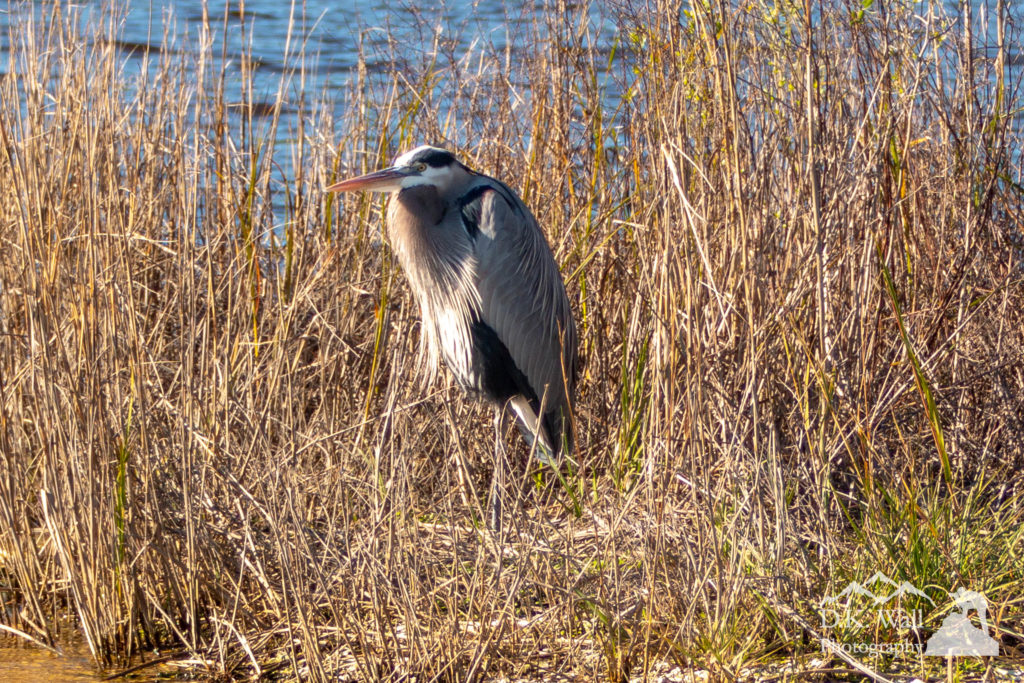 Great Blue Heron sheltering against the winds of the salt marsh.
