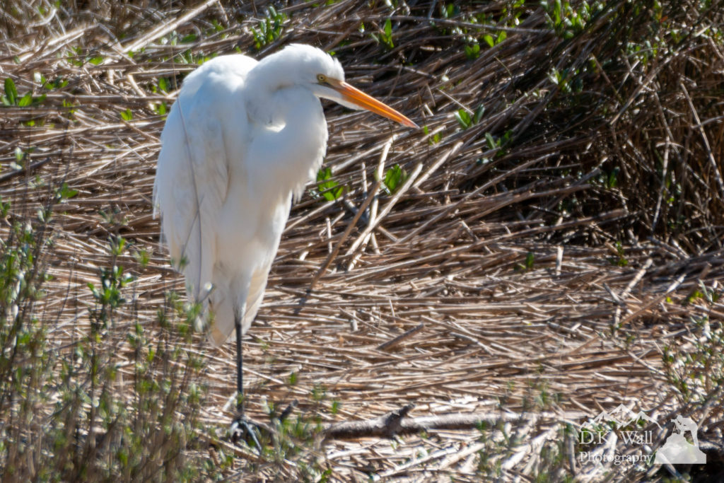 Great Egret hunched down against a cold winter wind.