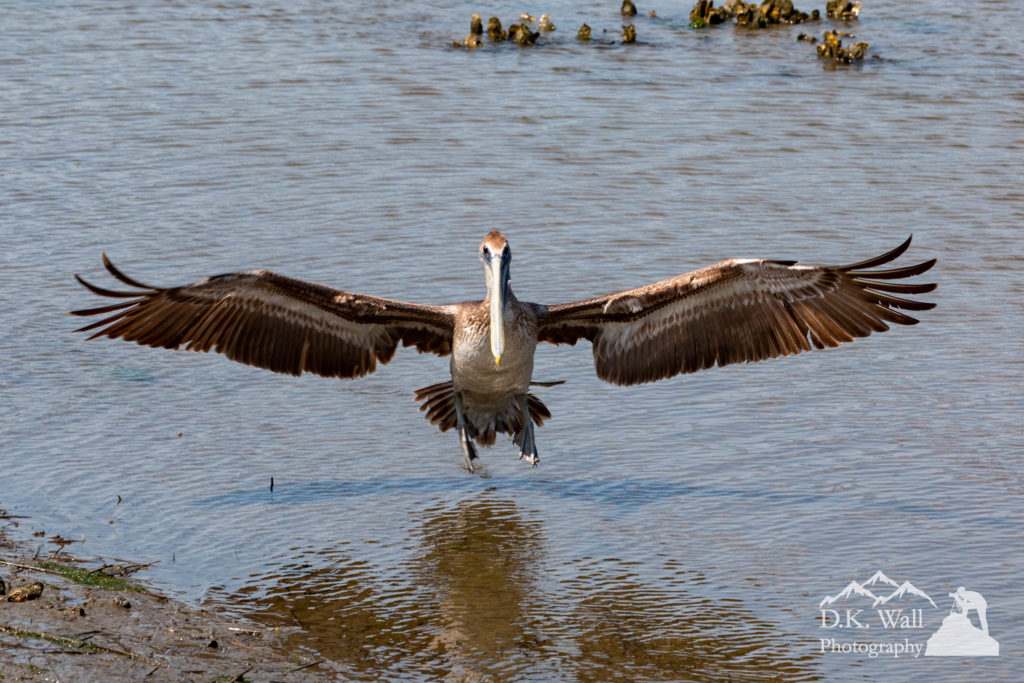 A brown pelican glides to a landing