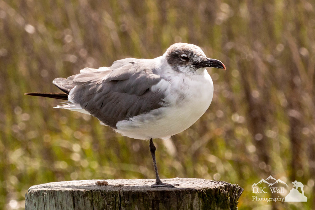 A laughing gull balances on one leg during a sunny afternoon