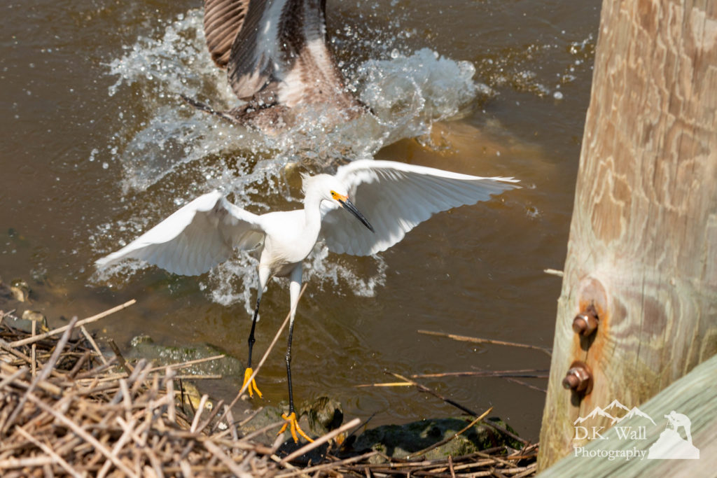 A snowy egret wisely gives up its food to a diving brown pelican