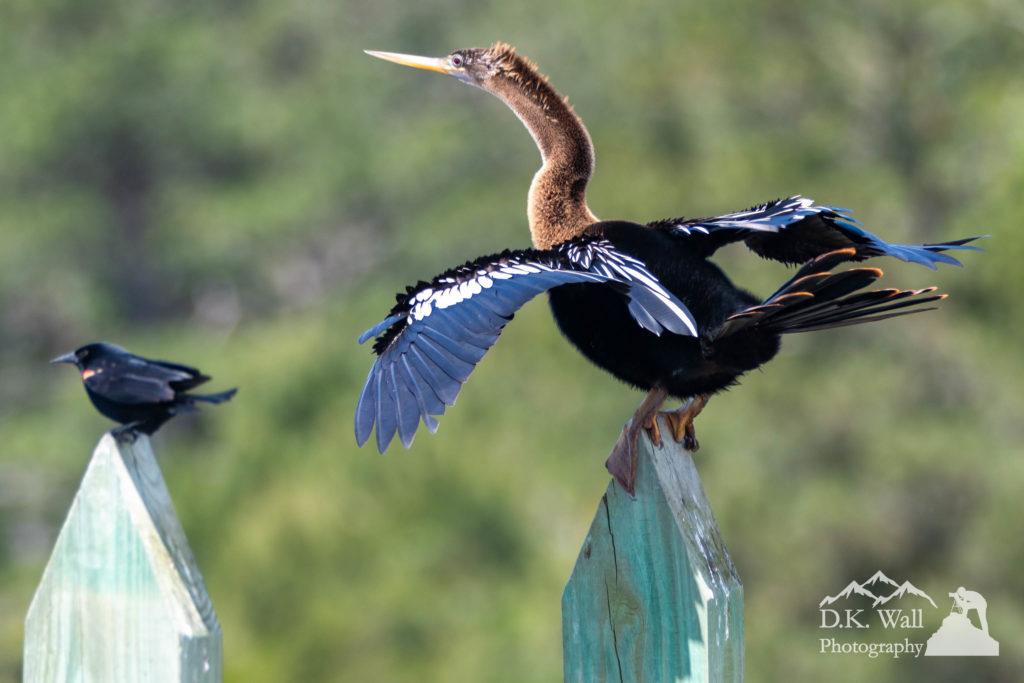 An anhinga and his red-winged blackbird buddy