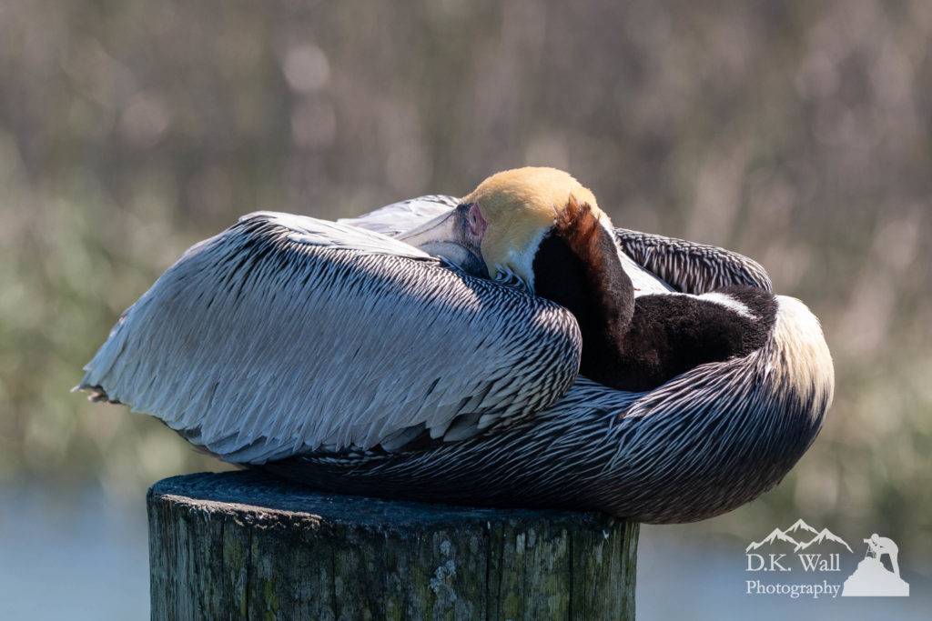 Brown pelican curled and balanced for a nap