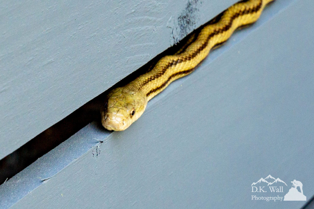 Garter snake sunning himself on the house wall
