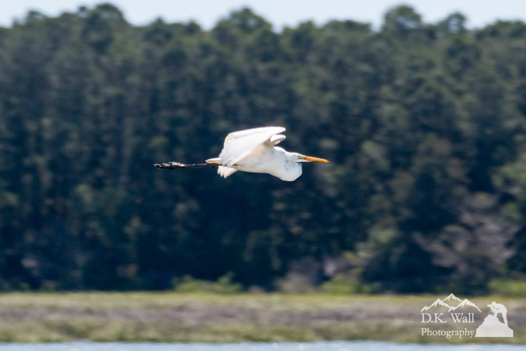 A great egret coming in for a landing