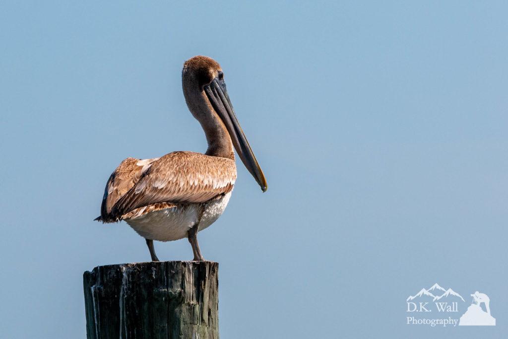 A brown pelican enjoying its view