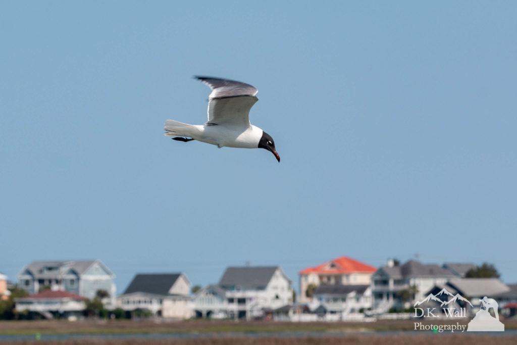 A laughing gull soaring through the air