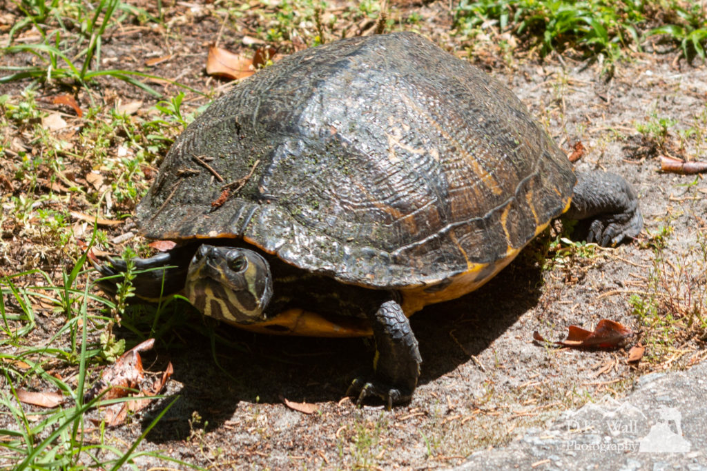 A quite fast moving turtle glares at the photographer