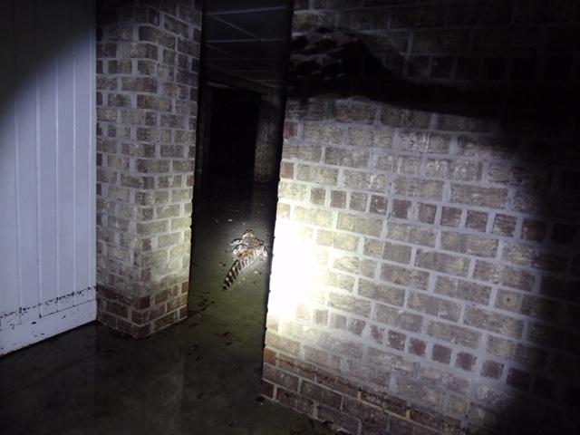 alligator in basement